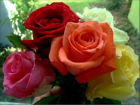 comment offrir une rose rouge, seule ou en bouquet | la-rose-rouge.fr